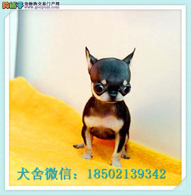 cku认证犬舍出售高品质吉娃娃 签协议证件齐全
