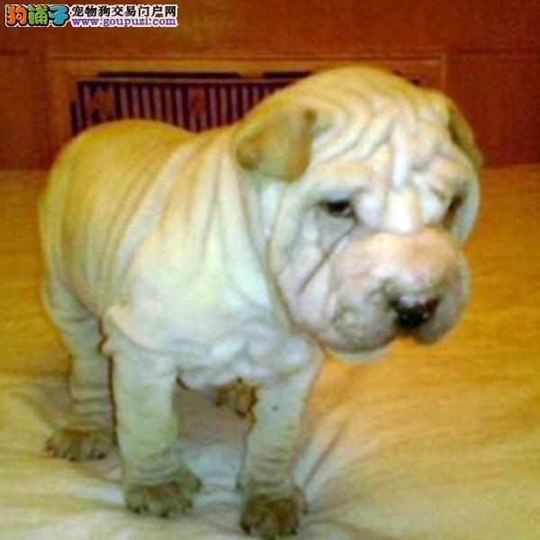 CKU认证犬舍十二年繁育精品沙皮养宠从遇见百业开始