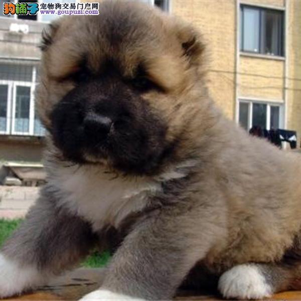 CKU认证犬舍十二年繁育精品高加索养宠从遇见百业开始