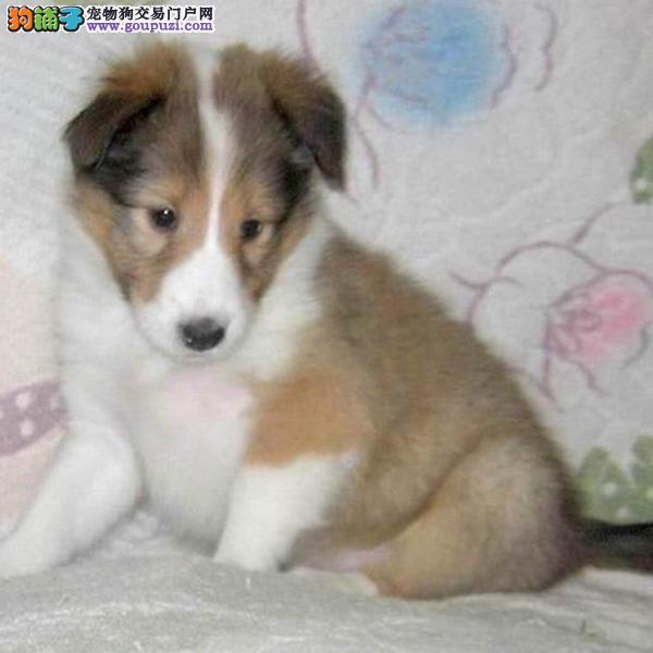 cku认证犬舍出售高品质 喜乐蒂签协议证件齐全