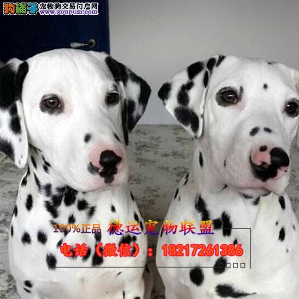 斑点狗 养殖场直销品种齐全包健康签订保障协议