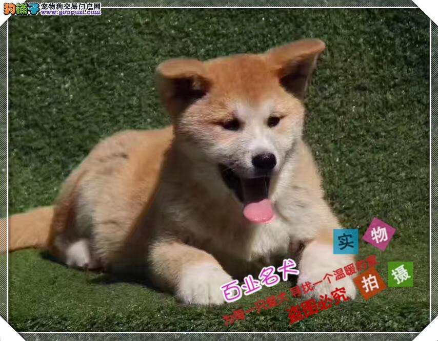 百业名犬专业繁育高品质秋田 包纯种健康全国当天到货