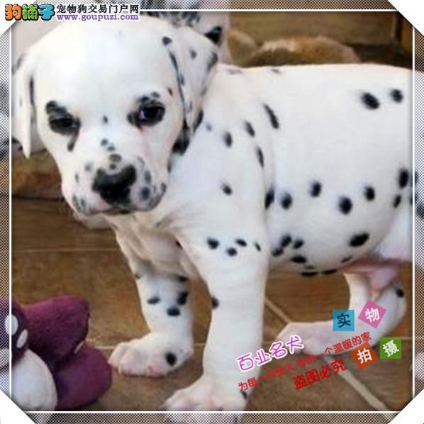 百业名犬专业繁育高品质斑点包纯种健康全国当天到货