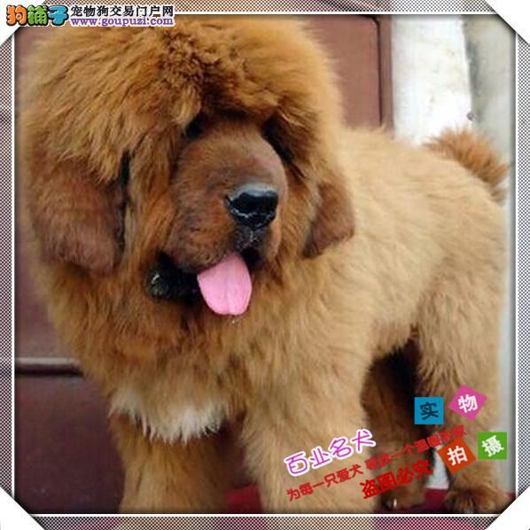 百业名犬专业繁育高品质藏獒包纯种健康全国当天到货
