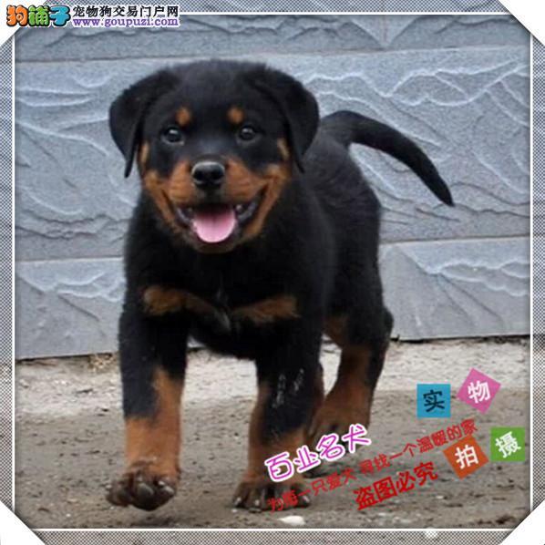 百业名犬专业繁育高品质罗威纳包纯种健康全国当天到货