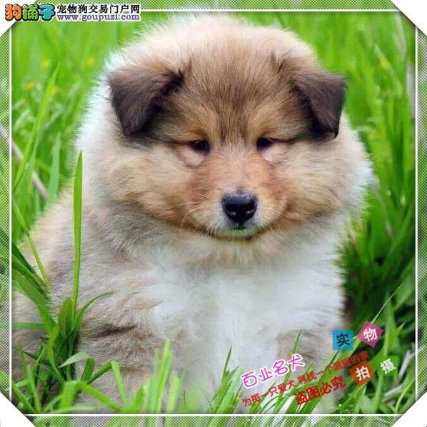 百业名犬专业繁育高品质苏牧包纯种健康全国当天到货