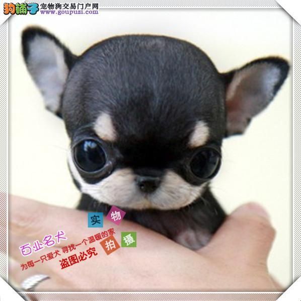 百业名犬专业繁育高品质吉娃娃包纯种健康全国当天到货