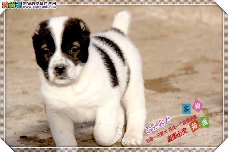 百业名犬高品质中亚牧羊犬包纯种健康全国当天到货