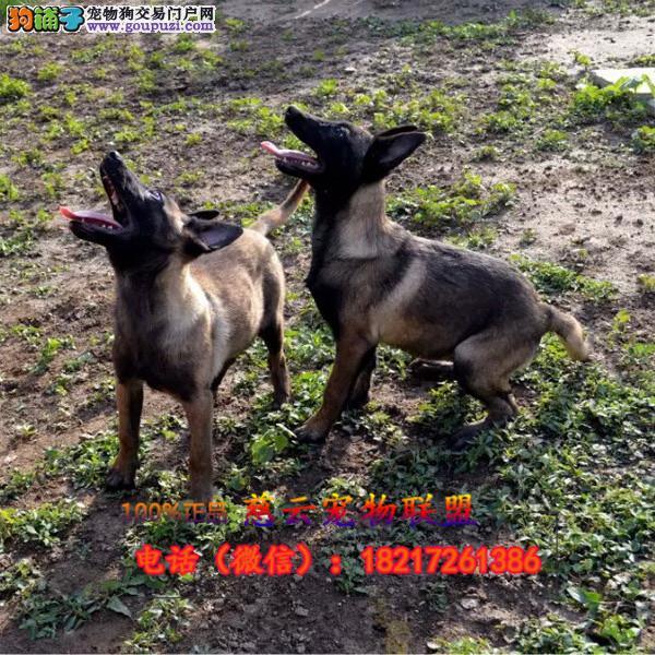 专业繁殖纯种马犬 三年质保 签订协议