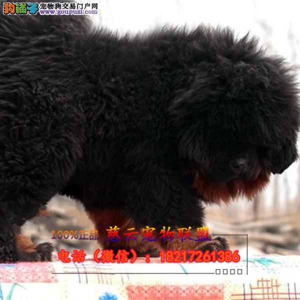 藏獒专业繁殖纯种藏獒三年质保 签订协议