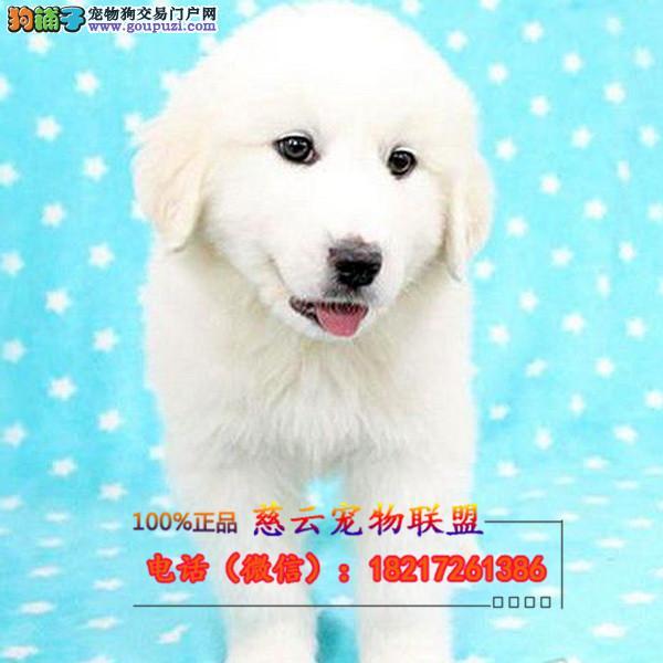 CKU认证犬舍专业出售高品质金毛包纯种包健康