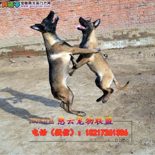 CKU认证犬舍 专业出售高品质边牧 包纯种 包健康