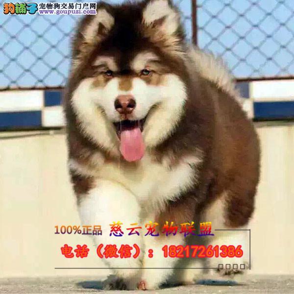 CKU认证犬舍 专业出售高品质德牧 包纯种 包健康