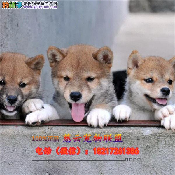 柴犬 专业繁殖纯种柴犬 三年质保 签订协议