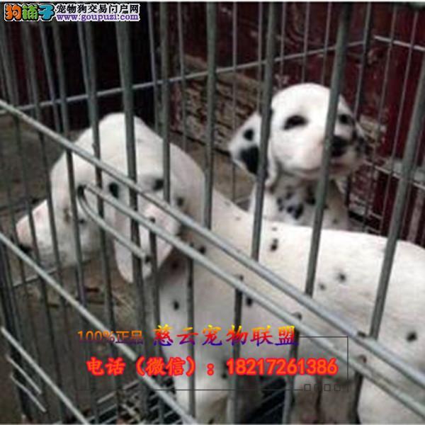 专业繁殖纯种斑点狗 三年质保 签订协议