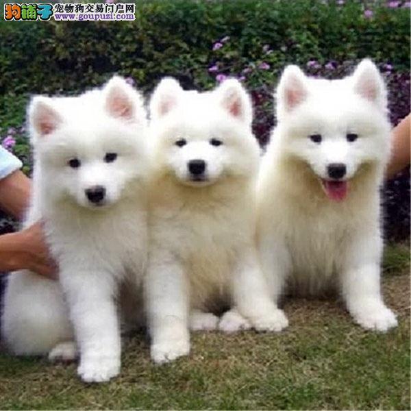 百业名犬专业繁育高品质银狐犬包纯种健康全国当天到货