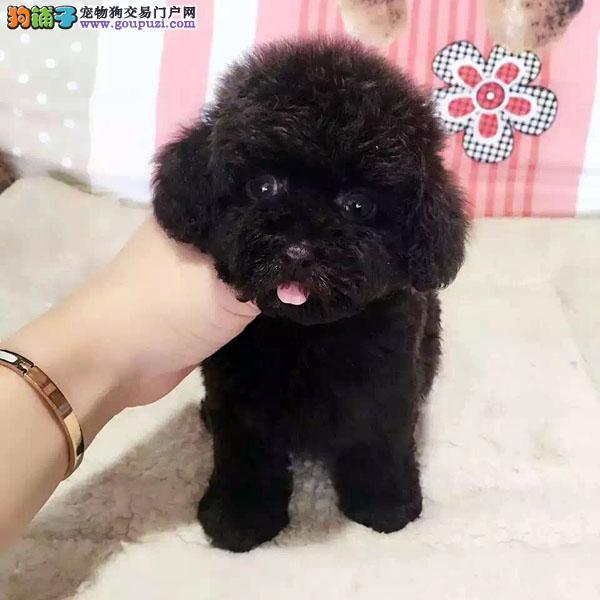 cku认证犬舍出售高品质茶杯犬 签协议证件齐全