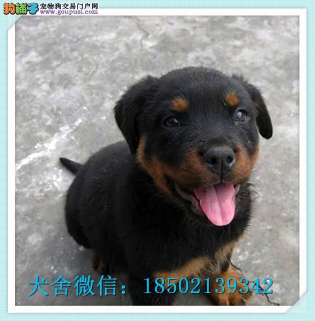 cku认证犬舍出售高品质罗威纳幼犬 签协议证件齐全