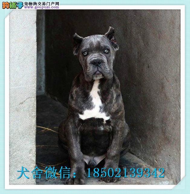 cku认证犬舍出售高品质 卡斯罗签协议证件齐全
