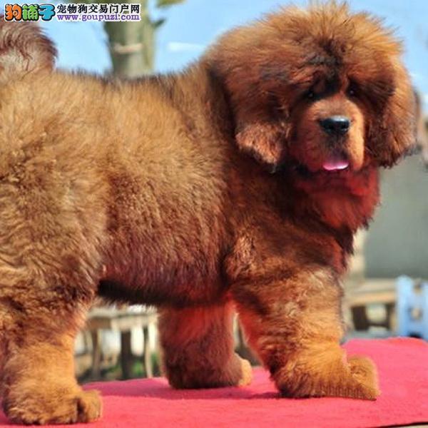 cku认证犬舍出售高品质 藏獒幼犬签协议证件齐全