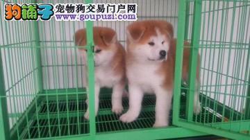 cku认证犬舍出售高品质秋田幼犬 签协议证件齐全