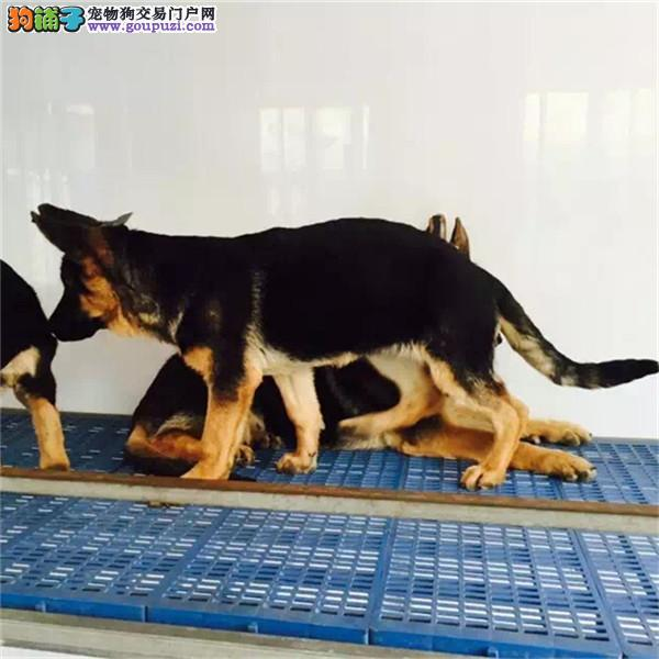 cku认证犬舍出售高品质 签协议证件齐全德国牧羊犬