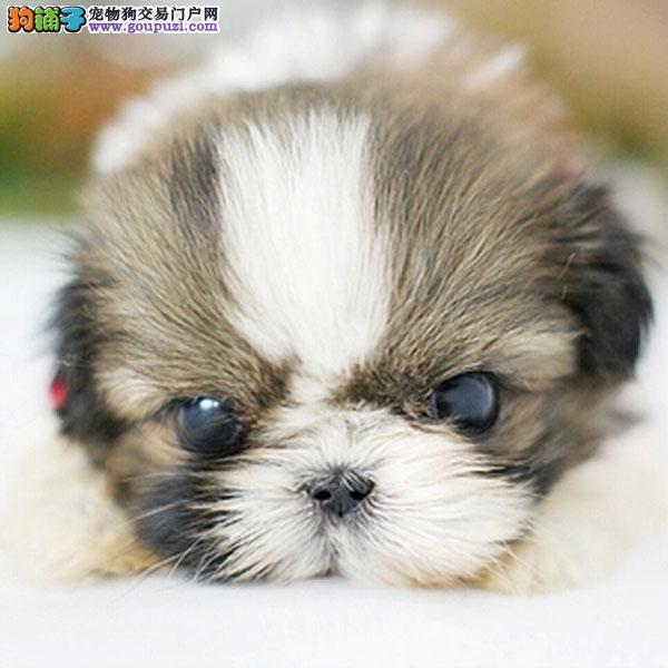 cku认证犬舍出售高品质 西施签协议证件齐全