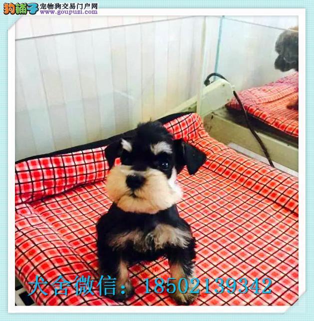 cku认证犬舍出售高品质雪纳瑞签协议证件齐全