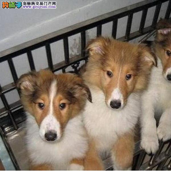cku认证犬舍出售高品质 苏牧签协议证件齐全