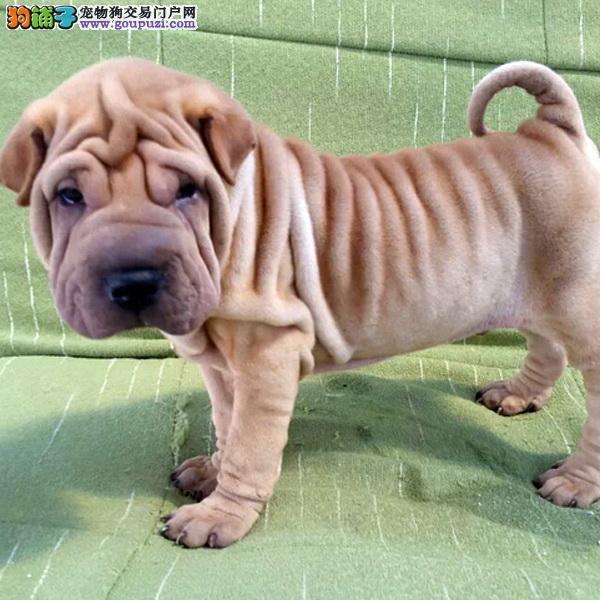 cku认证犬舍出售高品质 沙皮狗签协议证件齐全