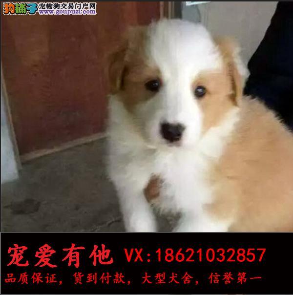 CKU认证犬舍 专业出售高品质边牧幼犬 包纯种 包健康