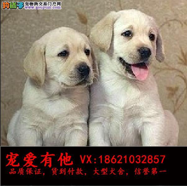 CKU认证犬舍 专业出售高品质拉布拉多犬包纯种 包健康