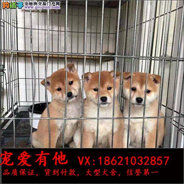 专业繁殖纯种柴犬 三年质保 签订协议