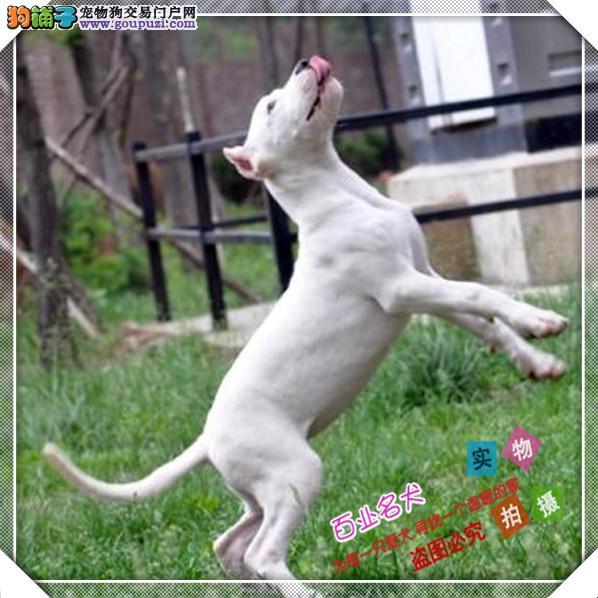 百业名犬专业繁育高品质杜高包纯种健康全国当天到货