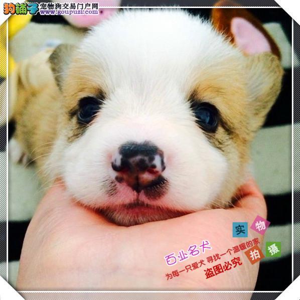 百业名犬专业繁育高品质柯基包纯种健康全国当天到货