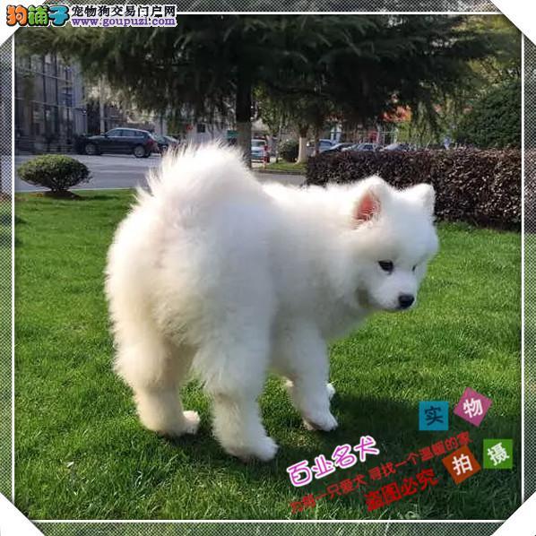 百业名犬专业繁育高品质萨摩耶包纯种健康全国当天到货