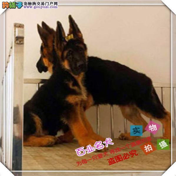 百业名犬专业繁育高品质德牧包纯种健康全国当天到货