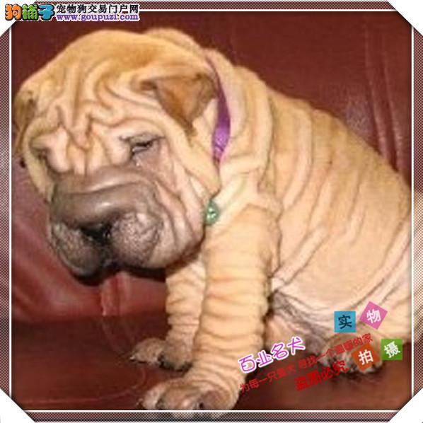 百业名犬专业繁育高品质沙皮包纯种健康全国当天到货