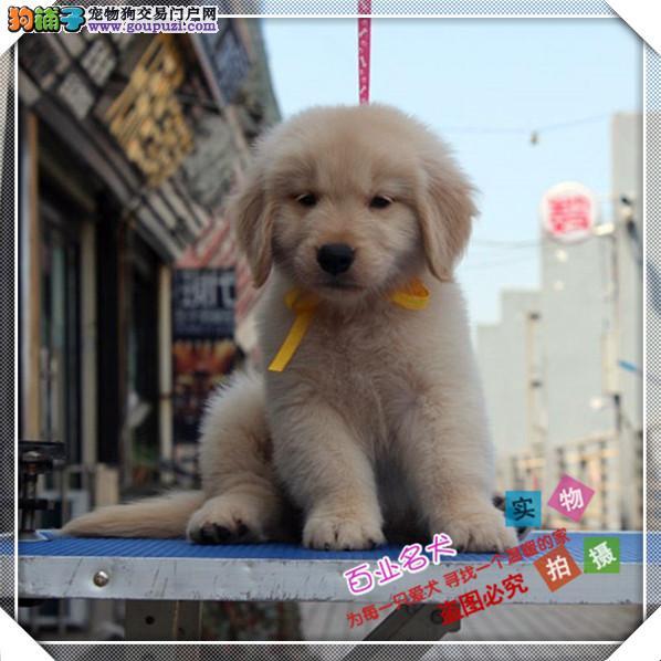 百业名犬专业繁育高品质金毛包纯种健康全国当天到货