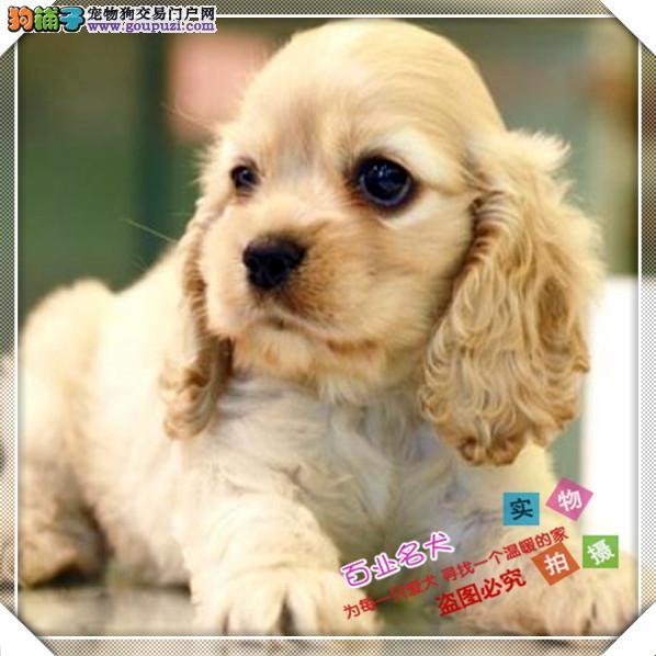 百业名犬专业繁育高品质可卡犬包纯种健康全国当天到货