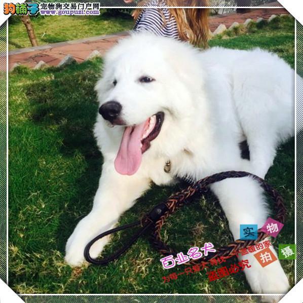 百业名犬专业繁育高品质大白熊包纯种健康全国当天到货