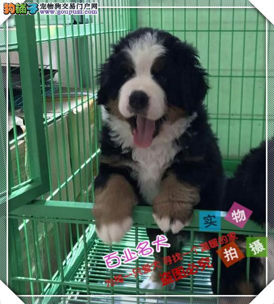 百业名犬专业繁育高品质伯恩山包纯种健康全国当天到货