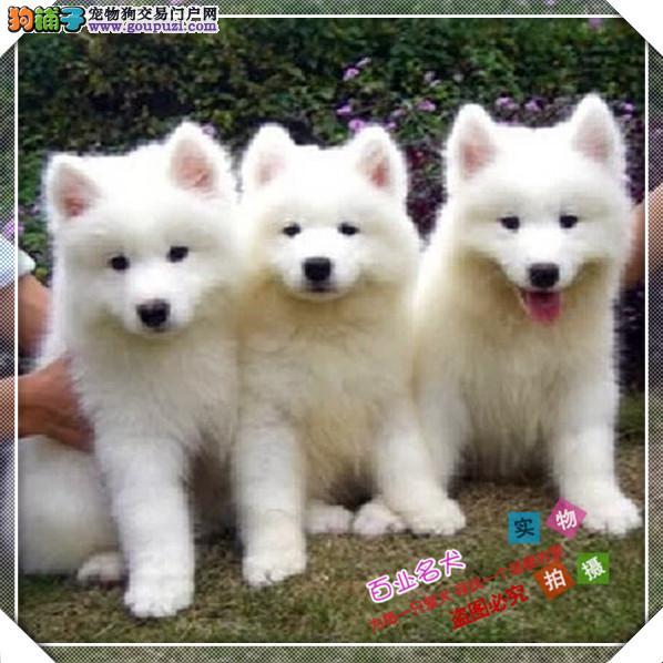 百业名犬专业繁育高品质银狐包纯种健康全国当天到货