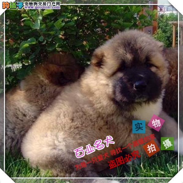 百业名犬专业繁育高品质高加索包纯种健康全国当天到货