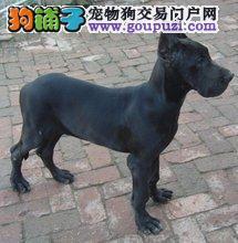 百业名犬专业繁育高品质大丹犬包纯种健康全国当天到货
