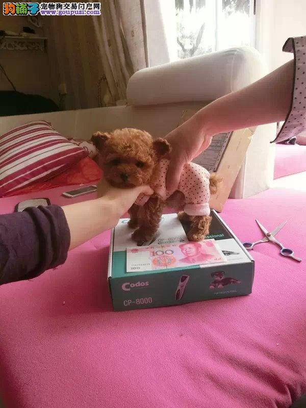 基地直销高品质纯种泰迪幼犬 带协议出售 可上门挑选