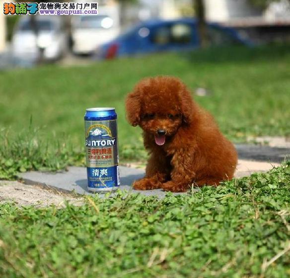 出售精品泰迪犬/包纯种·保健康·包养活/可送货上门