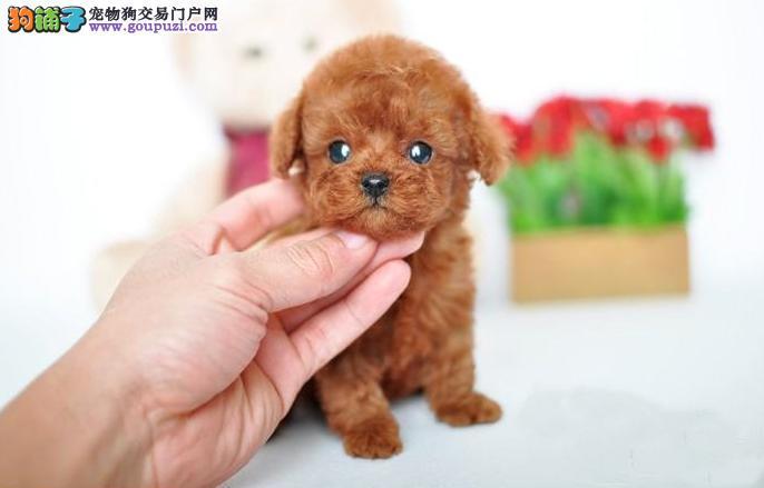 各种品相的泰迪犬都有的/当天全款包邮/好狗价不低