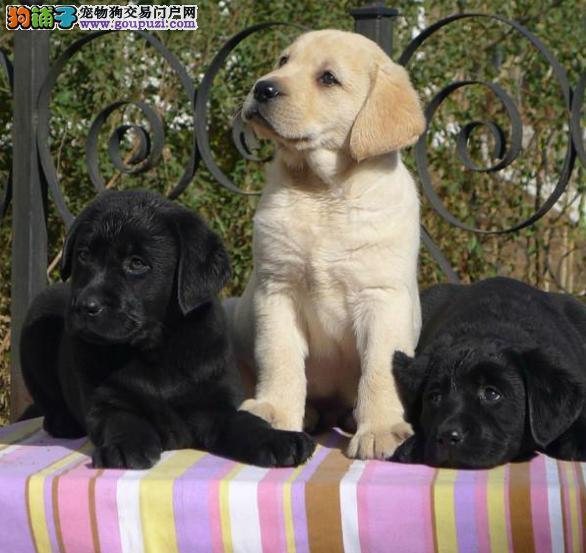 出售精品拉布拉多犬/包纯种·保健康·包养活/可送货上