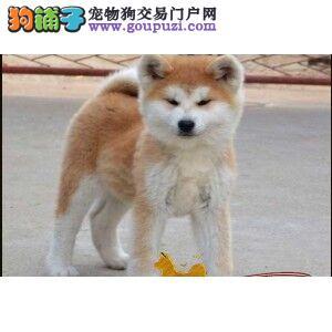 出售精品秋田犬/包纯种·保健康·包养活/可送货上门